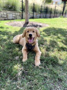 golden retriever in the shade
